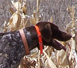 Colorado Pheasant Hunting Dog in the Field