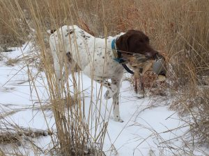 Dog holding catch while pheasant hunting at Longmeadow