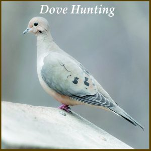 Dove Hunting at Longmeadow