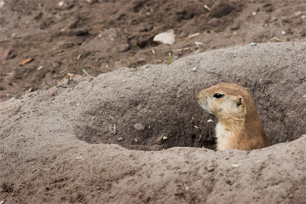 A prairie dog sticking its head out of a hole