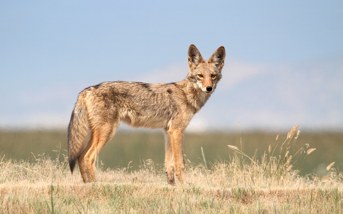 A coyote on the high plains looking toward the camera, longmeadow game resort and event center