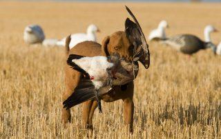 dog bringing back a goose while hunting at longmeadow