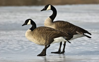 A pair of geese standing on a frozen pond in the wintertime - Colorado Goose Hunting