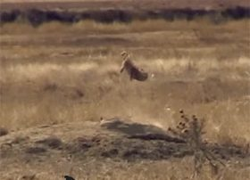 prairie dog mid air after being hit
