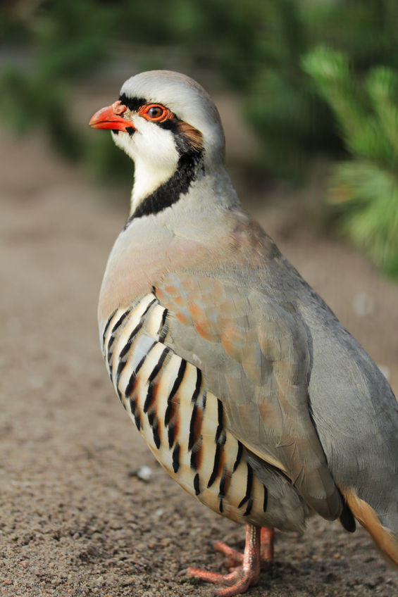 Chukar hunting in Colorado at Longmeadow Game Resort