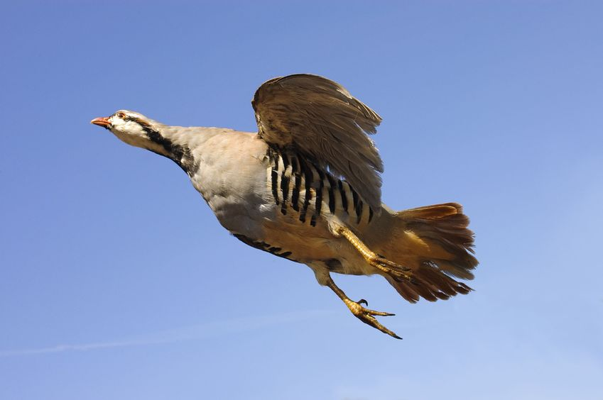 best chukar hunting in Colorado is at Longmeadow