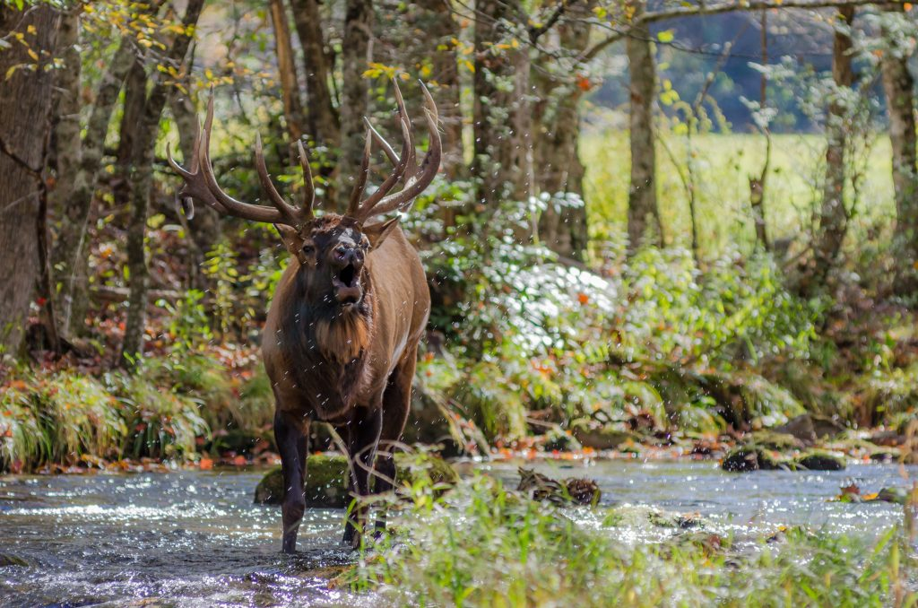 elk call, bugles, splashing water droplets all around