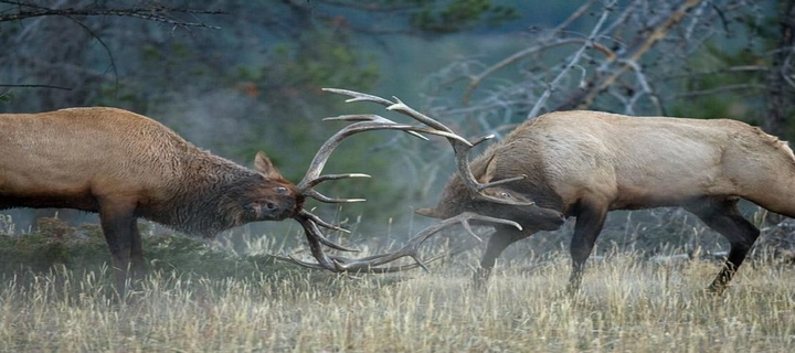 Two bull elks rutting