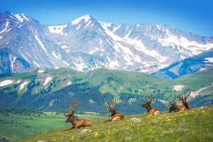A small heard of elk bedding down in a beatiful alpine meadow overlooking a majestic mountain range - Elk Hunt at Longmeadow