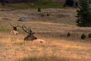 Two Elks bedding down in tall grass - Elk hunt at Longmeadow