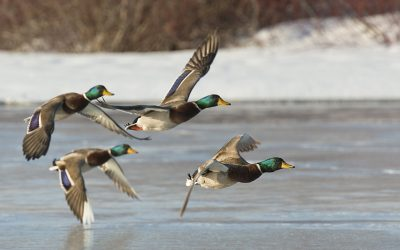 A beautiful flock of several mallard duck flying over a frozen pond, longmeadow game resort and event center