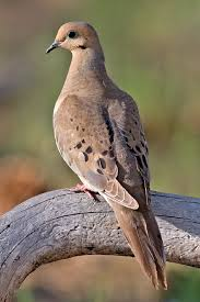 Mourning dove hunting in Colorado