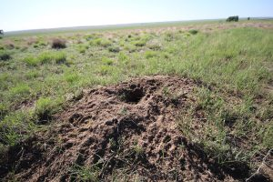 a prairie dog hole in a vast field