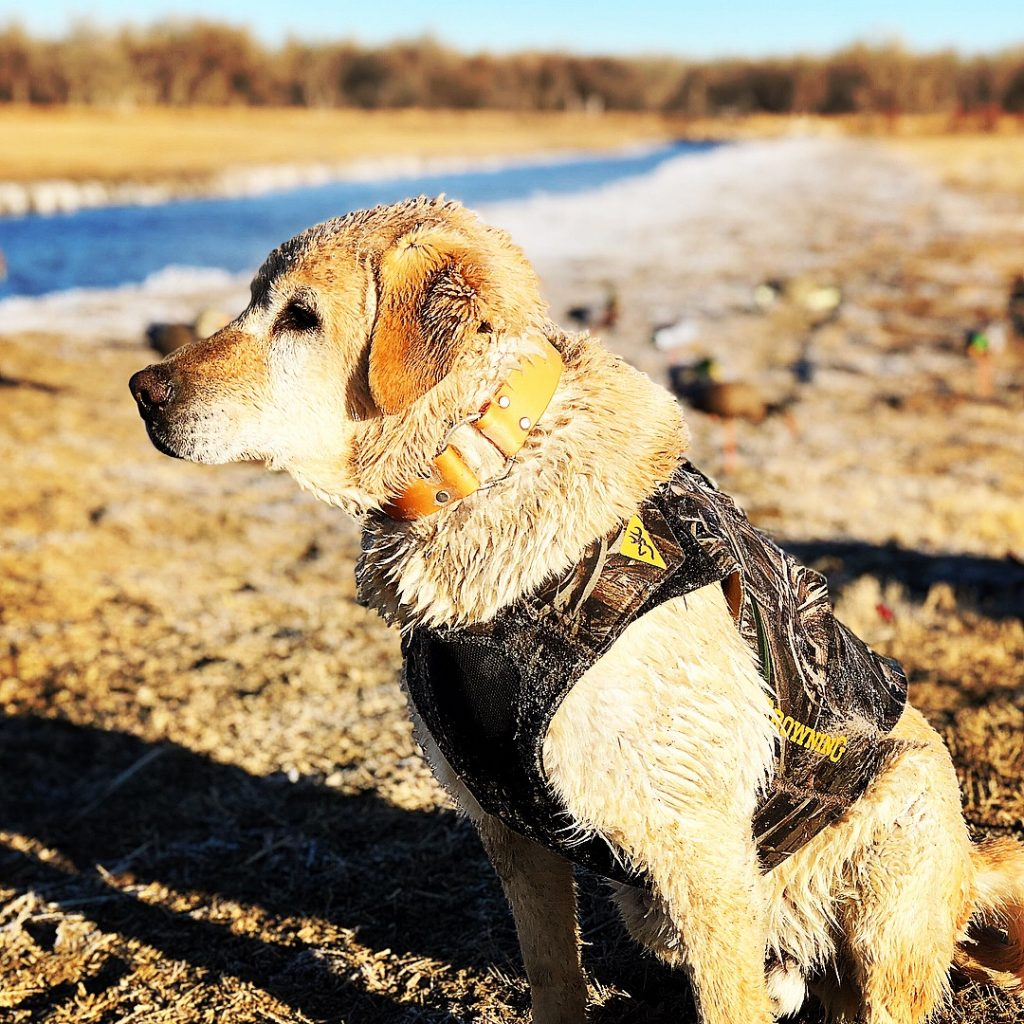 A photo of a friendly looking hunting dog in his collar and vest on a river bank - NAGDA Nationals