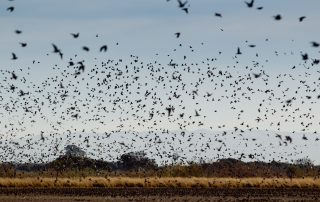 Dove Hunting at Longmeadow