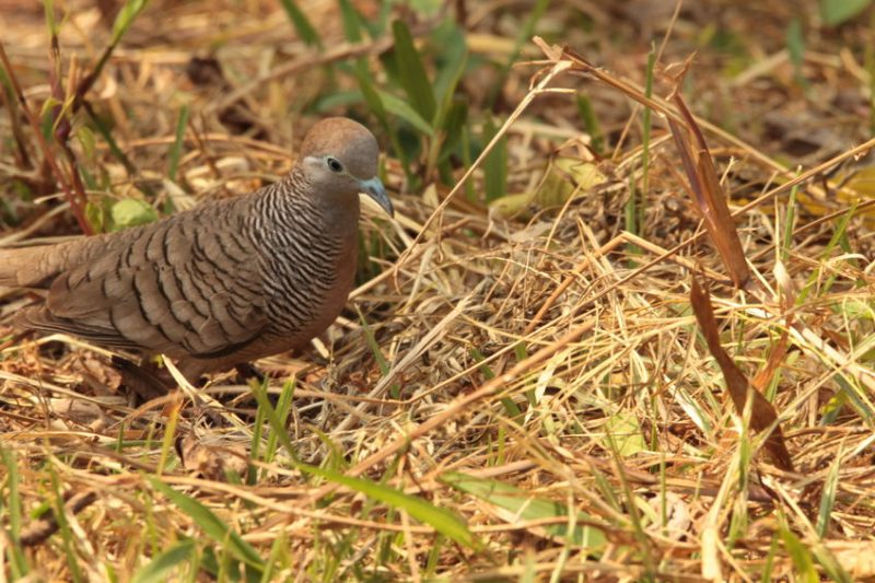 a zebra dove foraging for food on the ground.