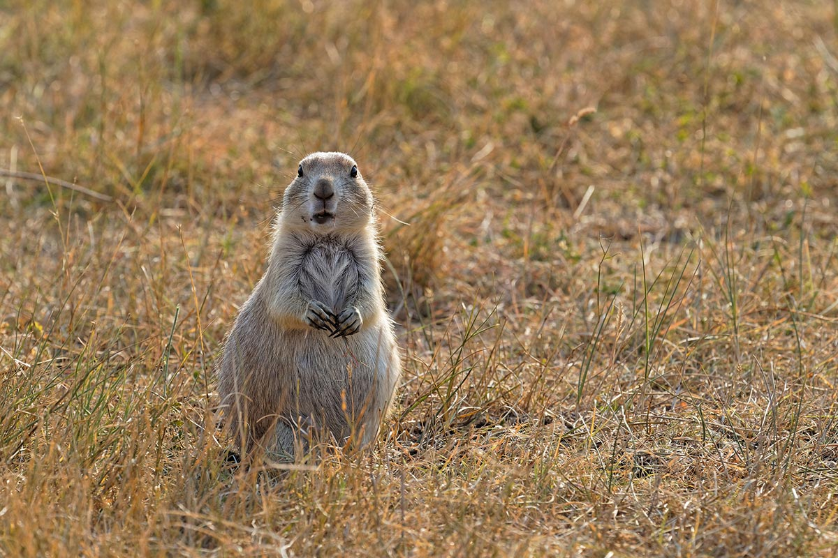 Prairie Dog Hunting: 7 Reasons to Hunt Some Vermin this Summer